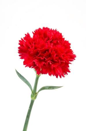 Red carnation flower Stock Photo - 16159112