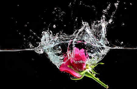 dews: pink rose in the water on black background