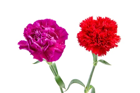 Purple and Red carnation flower