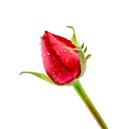 Red Rosebud Rose isolated on white background