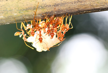 team of ants gathering rice, agriculture teamwork  focused on nearest workers photo