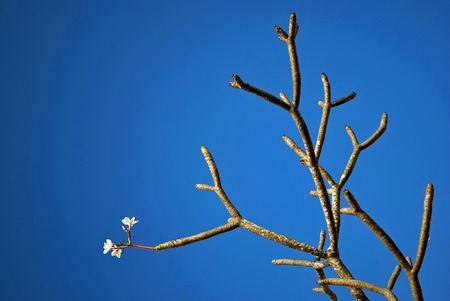 White Flowers Frangipani, Plumeria, Templetree in a sunny day Thailand with deep blue sky background Stock Photo