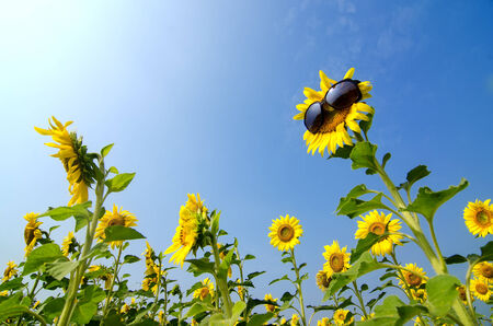 Sunflower wearing sunglasses with blue sky