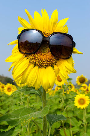 Close up Sunflower wearing sunglasses with blue sky