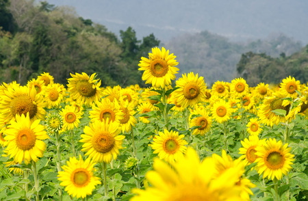 Blooming Sunflowers  Stock Photo