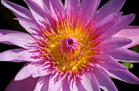 Close up of  Pink Blossom Lotus Flower