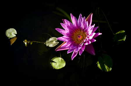 Pink Blossom Lotus Flower