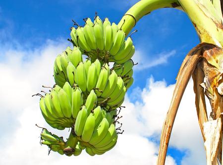 Banana bunch on tree Stock Photo
