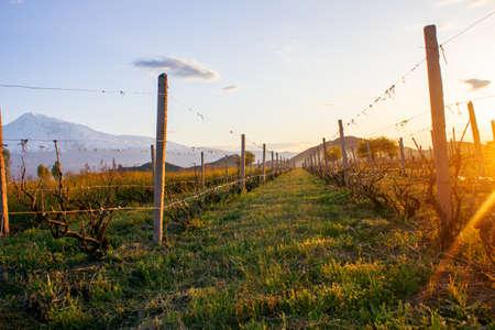ripe grapes growing in vineyard