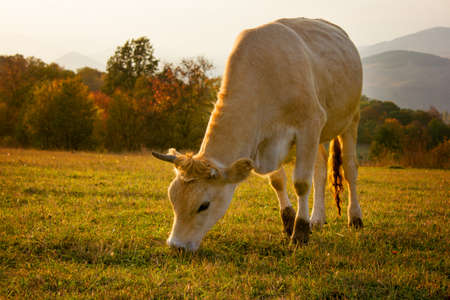 cow eating grass on mountain