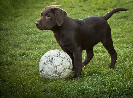 lab and ball photo