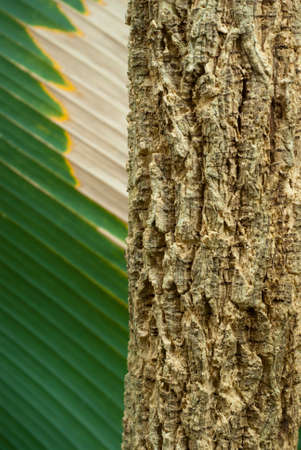 corkwood: Texture of  Cork tree Stock Photo