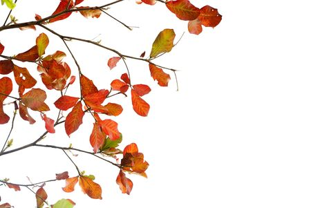 Red leaves of sea-almond tree Stock Photo