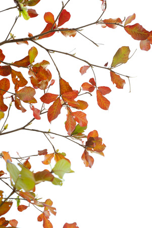 carotenoid: Red leaves of sea-almond tree Stock Photo
