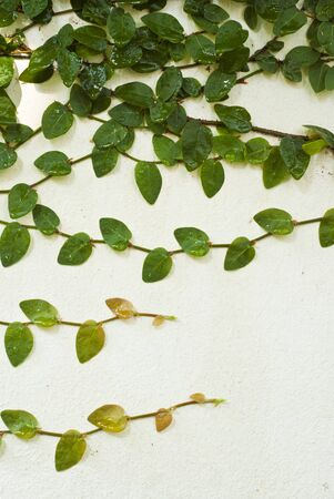 Climbing Fig Stock Photo