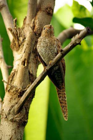 tropical evergreen forest: Plaintive Cuckoo juvenile