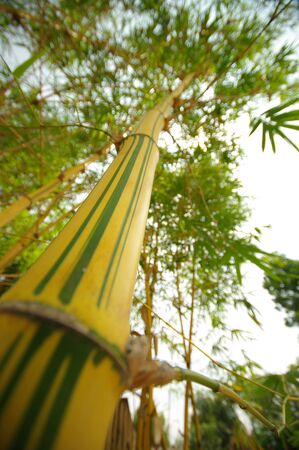 ze: yellow and green color bamboo Stock Photo