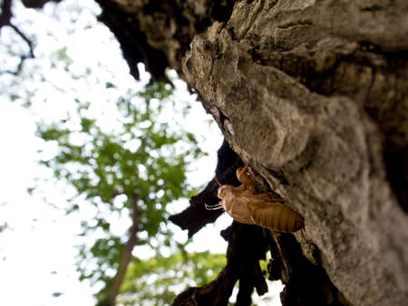 cicada bug: Molt of Cicada on tree bark Stock Photo