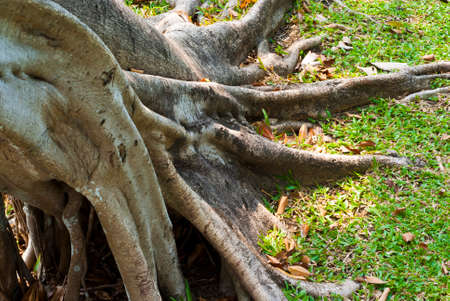 broaden: Expand Roots of Banyan tree