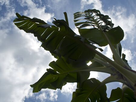 blown: Banana leaves be blown with a strong wind