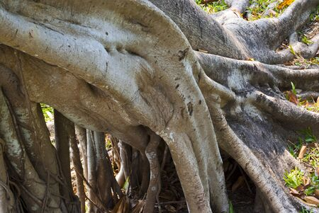 Expand Roots of Banyan tree
