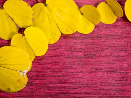 orchid tree: Yellow leaf of Orchid Tree on Red Background
