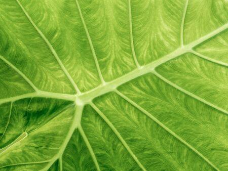 the freshness: Freshness Leaf of Great Caladium Giant Taro