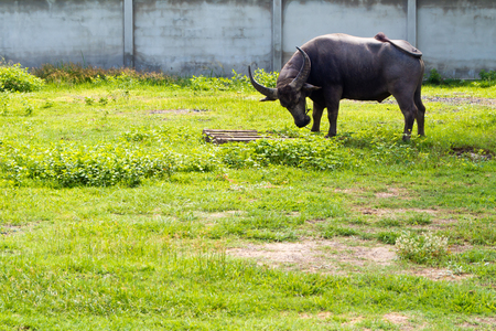 beast ranch: Buffalo frighting with wooden pallet in the countryside