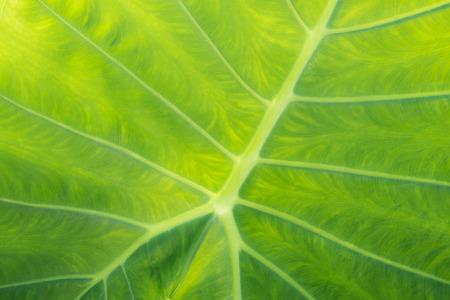 frescura: Freshness Leaf of Great Caladium Giant Taro