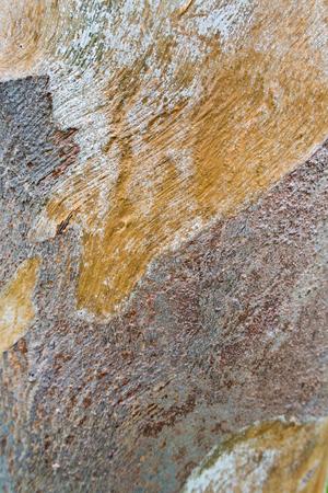 eucalyptus tree: Texture surface of Eucalyptus tree trunk