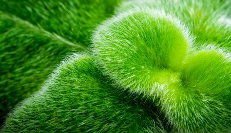 adorned: Leaves adorned with thick fur on the leaf surface