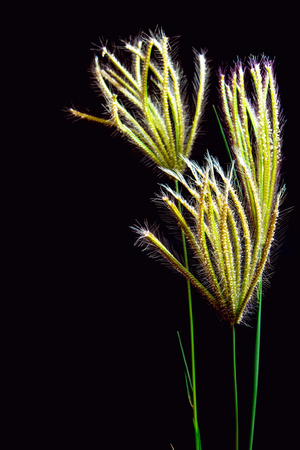 Flower of Swallen Finger grass in black background