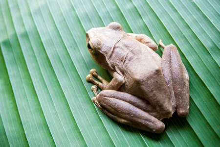 Tree Frog on the big green leaf Stock Photo