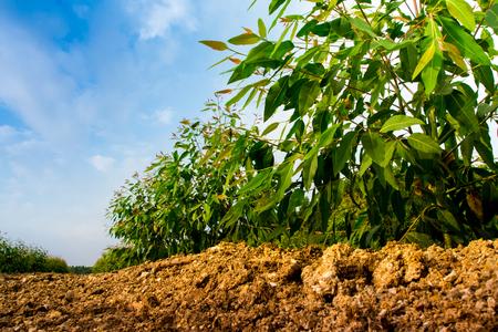 Rij van de groei Eucalyptusboom in de plantage