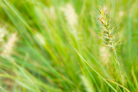 The flower of grass and blade in wind