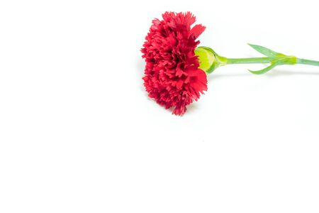 Realistic vivid red carnation  (Dianthus caryophyllus) blooming flower isolated on white background Stock Photo