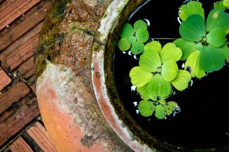 Water lettuce in the old Jars of clay
