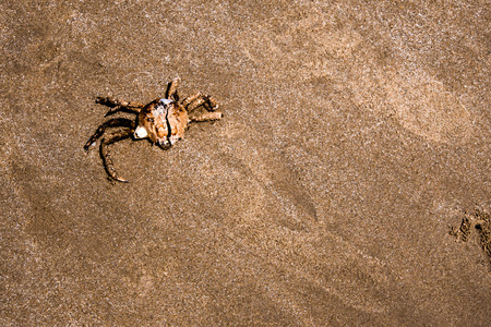 The dried carapace of dead Spanner Crab on the beach