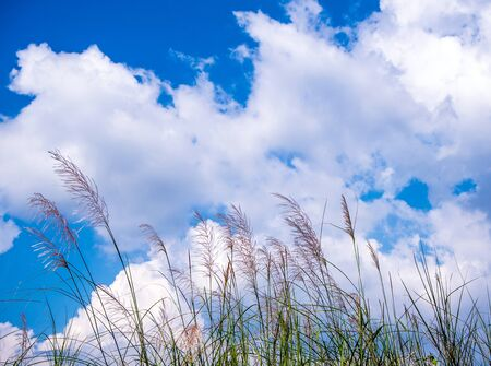 Flower of Kans grass sway in wind and the white clouds in blue sky