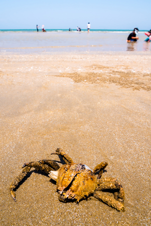 The dried carapace of dead Spanner Crab on sand where many people are play water on the beach