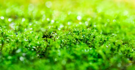 Close-up of freshness green moss growing covered on stone floor with water drops in the sunlight, selected focus