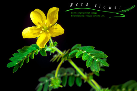 Yellow flower of small caltrops weed isolated flower on black stock photo yellow flower of small caltrops weed isolated flower on black background with common and scientific name mightylinksfo