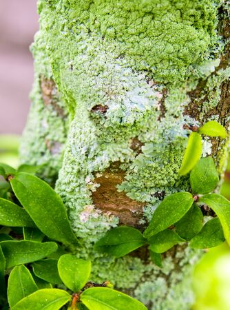 Close-up of beautiful green lichen, moss and algae growing covered on tree trunk in the garden Stock Photo