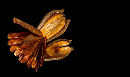 Pods and seeds of Honduras Mahogany on black background