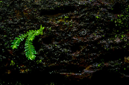 Close-up of freshness small fern leaves with moss and algae growing on the moist stone Stock Photo