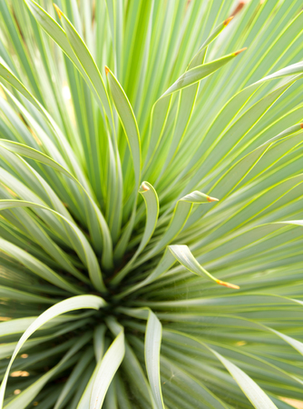 Soft and narrow leaf of Agave succulent plant, Agave Yucca Linearis, freshness leaves with thorn of Linear-Leaf Yucca