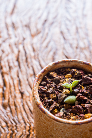 Bud leaf of small succulent plant growing on the laterite gravel in the small pot Stock Photo