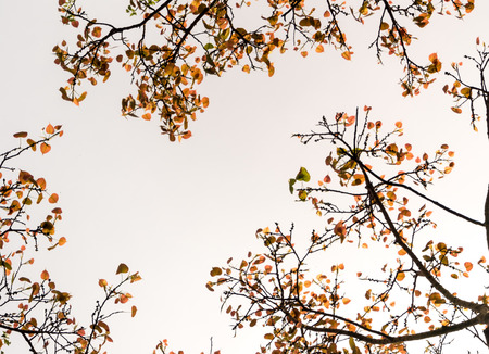 A Low Vantage Point to the sunlight sifting through the leaves of Sacred Fig Tree, Looking up to the sky