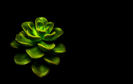 Succulent plant close-up, freshness leaves of Echeveria Melaco in tiny light on black background, high contrast