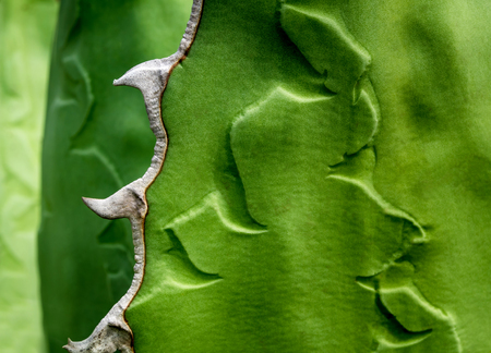 Agave succulent plant freshness texture on leaves surface with thorn of Agave titanota Gentry